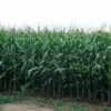 Sonoma County, California Tries to Ban GMOs…Again